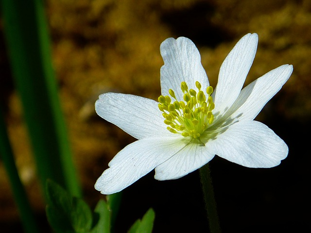 Wood Anemone, Spring, Flower, Blossom, Bloom, White