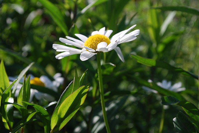 Daisy, White, Flower, Summer, Grass, Flowering