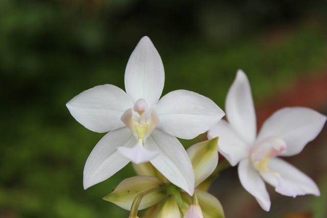 Flower, Orchid, White Flower, White, Garden
