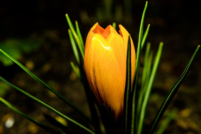 Flower, Blossom, Bloom, Winter, Crocus, Yellow, Plant