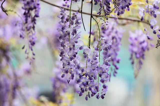 Plant, Wisteria, Flower, Purple, 繽 紛