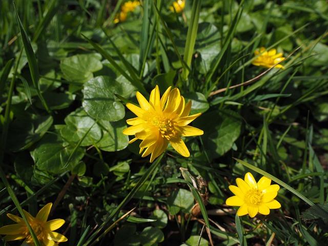Celandine, Flower, Blossom, Bloom, Yellow
