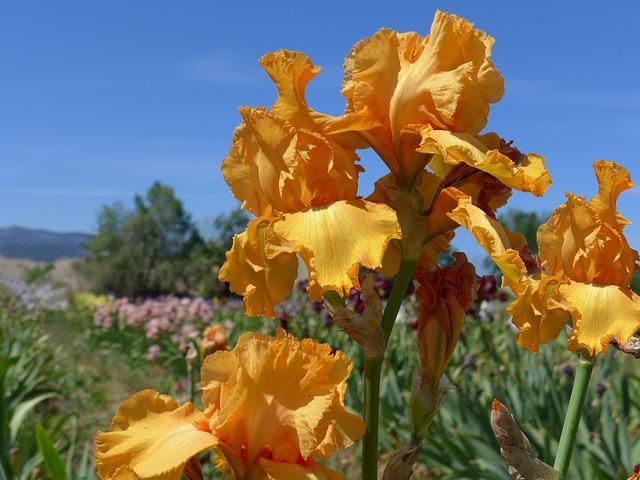 Yellow Iris, Flower, Iris
