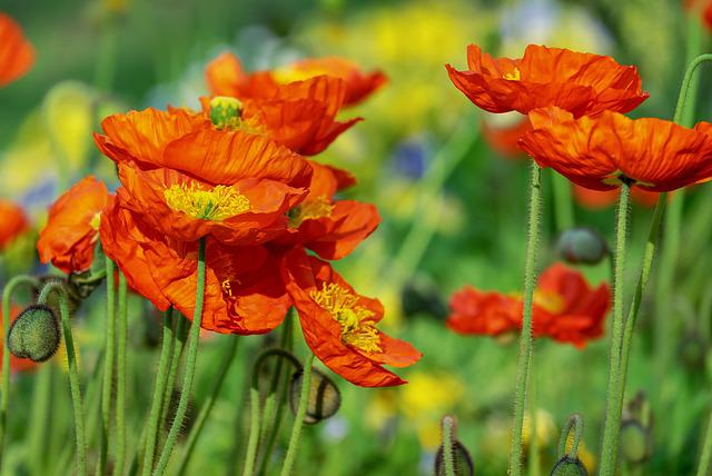 Poppy, Flower, Klatschmohn, Poppy Flower, Yellow Orange