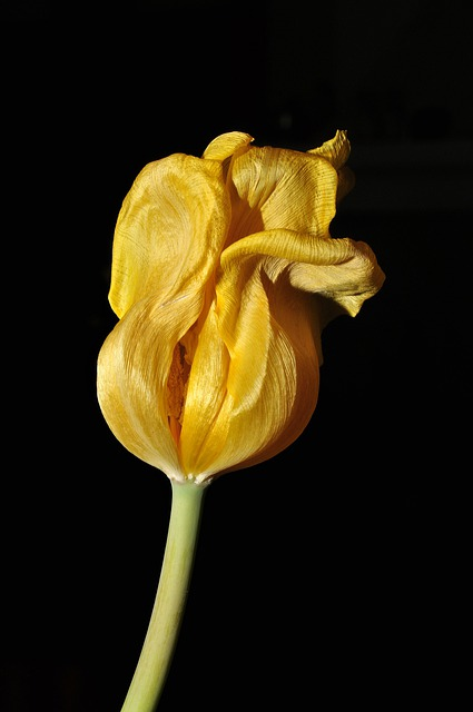 Flower, Tulip, Yellow, Overblown