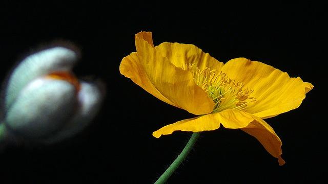 Yellow Poppy, Poppy, Yellow, Blossom, Bloom, Flower