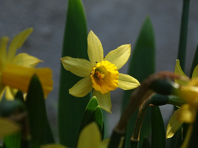 Daffodil, Yellow, Flower, Plant, Signs Of Spring