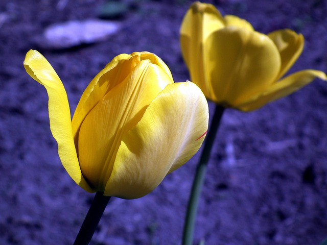 Flower, Tulip, Yellow, Garden Flower, Spring, Bright