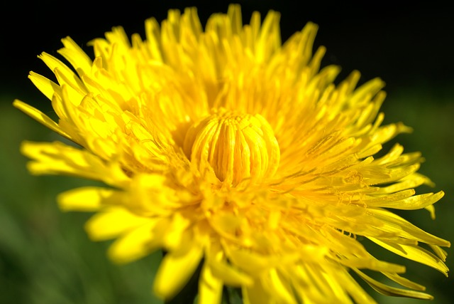 Dandelion, Yellow, Flower, Nature, Plant, Summer, Macro