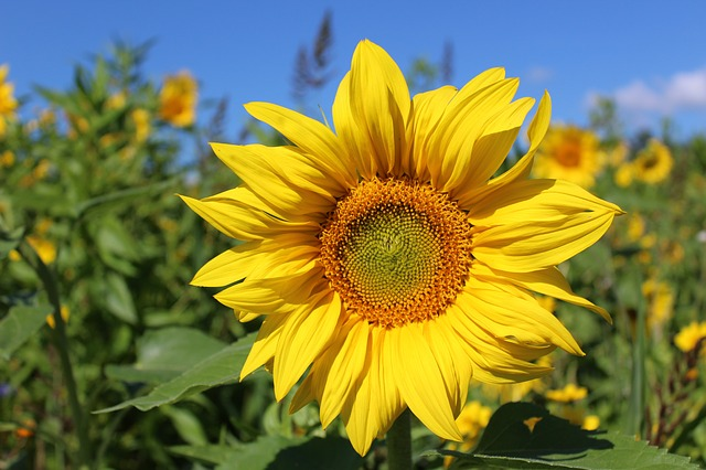 Sun, Flower, Sun Flower, Nature, Yellow, Summer