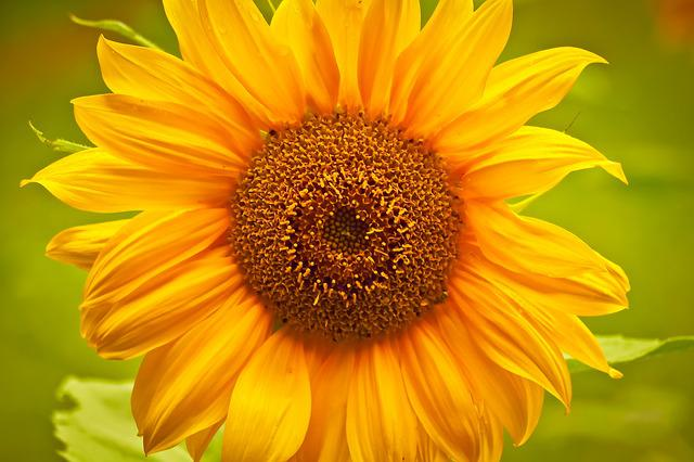 Sun Flower, Flower, Yellow, Blossom, Bloom, Nature