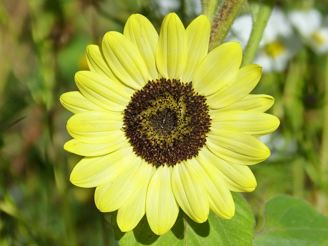 Sunflower, Helianthus Annuus, Flower, Yellow