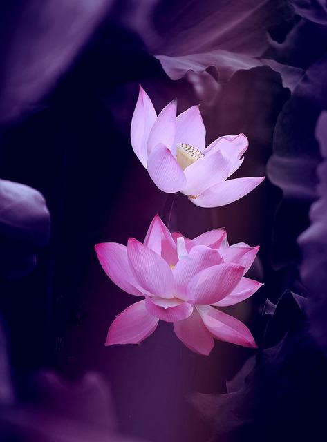 Lotus, Flower, Nature, Zen, Plant