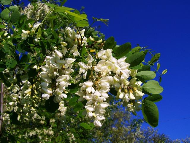 Flowering Acacia, Robinia Pseudoacacia, Spring