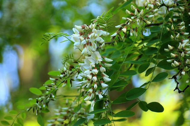 Acacia, Flowering, Tree, Spring, May, White Flowers