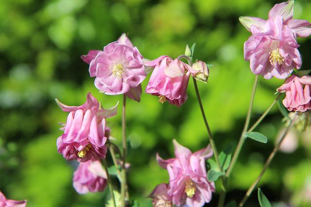 Ancolie Pink, Columbine, Flowering, Perennial