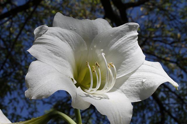 White Amaryllis, Flowering Bulbs, Amaryllis Belladonna