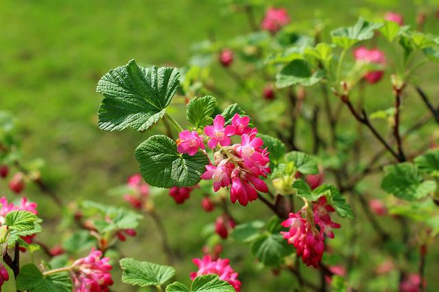 Currant Decorative, Bush, Flowering, Spring, Nature