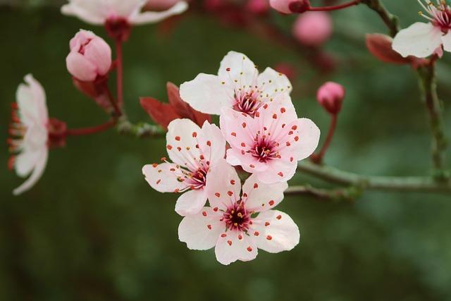 Flowering Cherry, Japanese, Prunus Serrulata