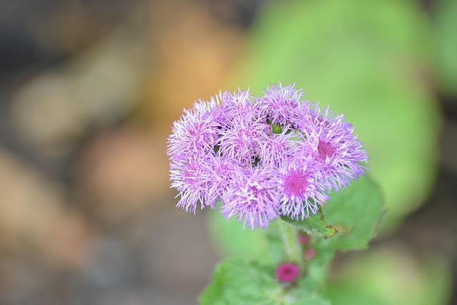 Flower, Nature, Flora, Pompom, Garden, Flowering