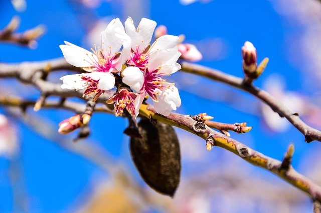 Flower, Almond Tree, Flowering