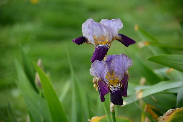 Iris, Flora, Flowers, Garden, Nature, Botany, Flowering