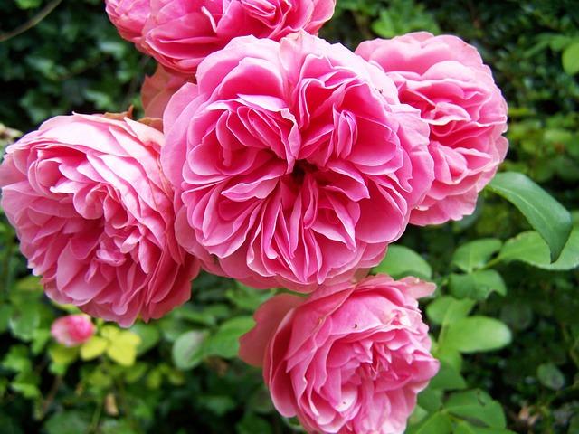 Rose, Pink, Flowering Inflorescence