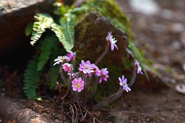 Flowers, Nature, Plants, Petal, Flowering, Hepatica