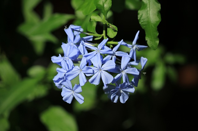 Plumbago, Creeper, Blue Flower, Flowering, Blue, Plant