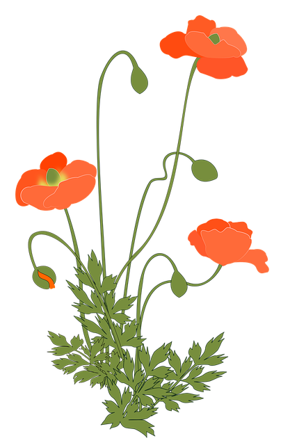 Poppy, Corn Poppy, Flowering Plant, Pink