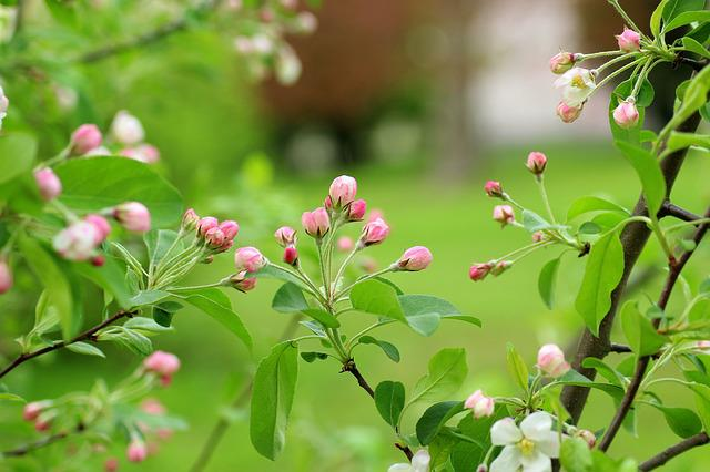 Flowering Tree, Fruit Tree, The Buds, Spring, Nature