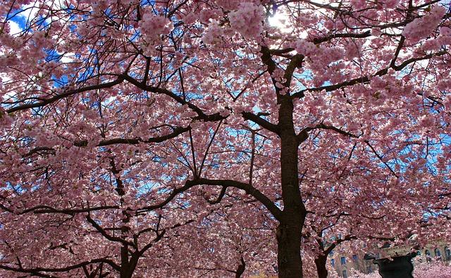 Cherry Trees, Cherry, Cherry Blossom, Flowering Trees