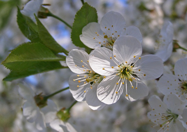 Blackthorn, Spring, Flowers, White, Flowering