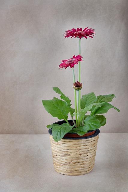 Flower, Flowerpot, Gerbera, Pink, Plant, Spring Flower