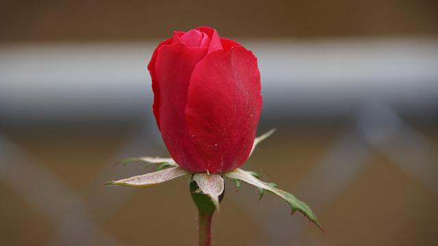 Rose, A Rose, Flowers, Nature, Red Petal