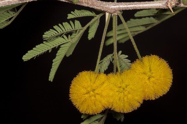 Plants, Garden, Flowers, Acacia