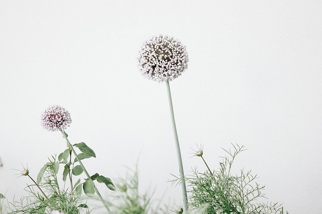 Alliums, Allium Flowers, Flowers, Floral Background