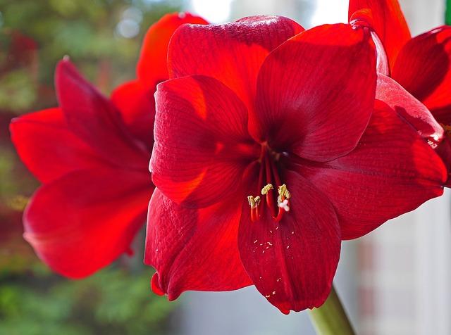 Amaryllis, Flowers, Christmas, Christmas Flower, Flower