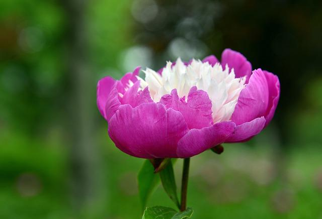 Peony, Peach Red, Flowers And Plants, Plant, White, Xie