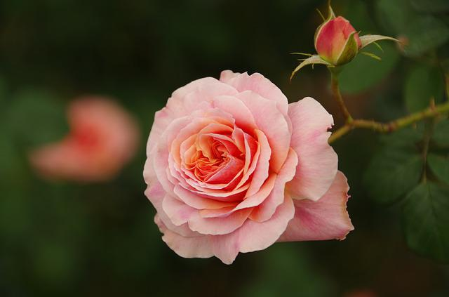 Flowers And Plants, Pink, Rose