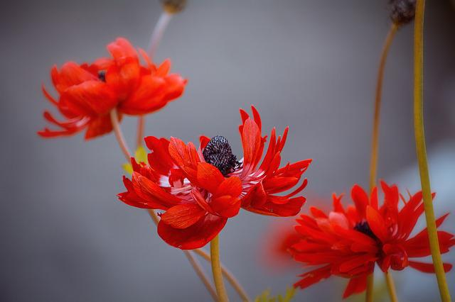 Anemone, Red, Red Anemone, Flowers, Red Flowers, Petals