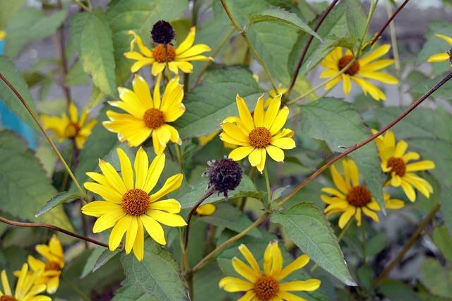Jerusalem Artichokes, Artichoke, Feed, Farming, Flowers