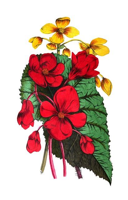 Begonia, Flowers, Leaf, Nature, Botany, Vintage