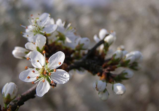 Spring, Flowers, White, Blackthorn, Flowering