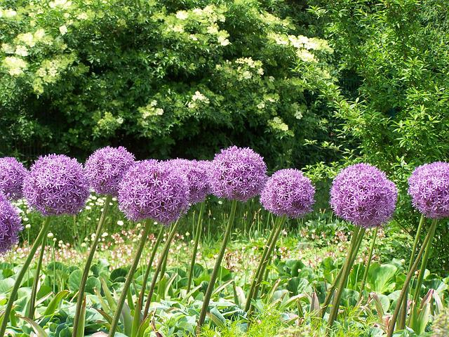 Allium, Flowers, Blossom, Bloom, Purple, Pink