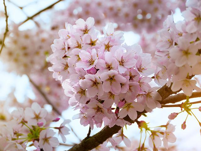 Cherry Blossoms, Pink, Spring, Flowers, Bloom