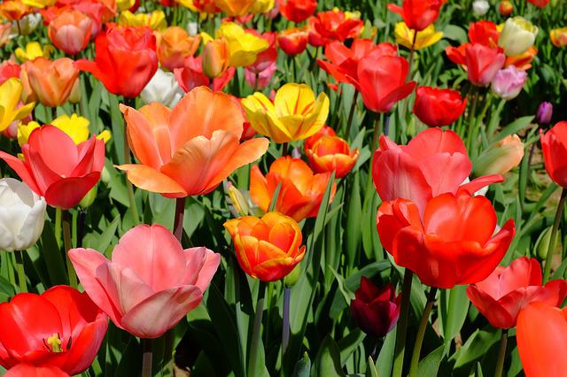 Tulips, Flowers, Bloom, Colorful, Sea Of Flowers