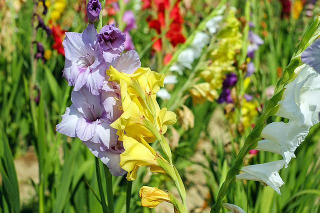Gladiolus, Flowers, Bloom, Colorful, Field Of Flowers
