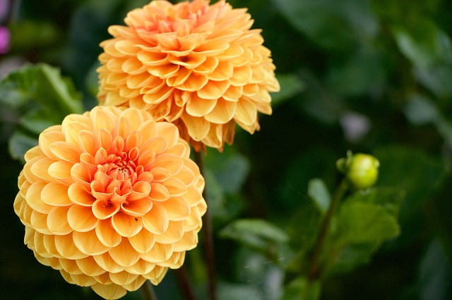 Dahlia, Flowers, Yellow, Orange, Nature, Blossom, Bloom