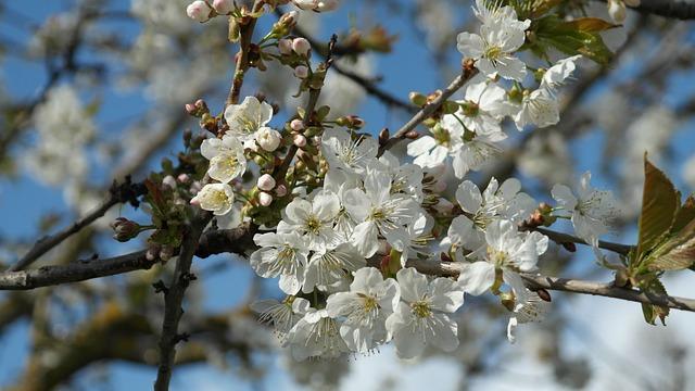 Flowers, Spring, Cherry Blossoms, White, Blossom, Bloom